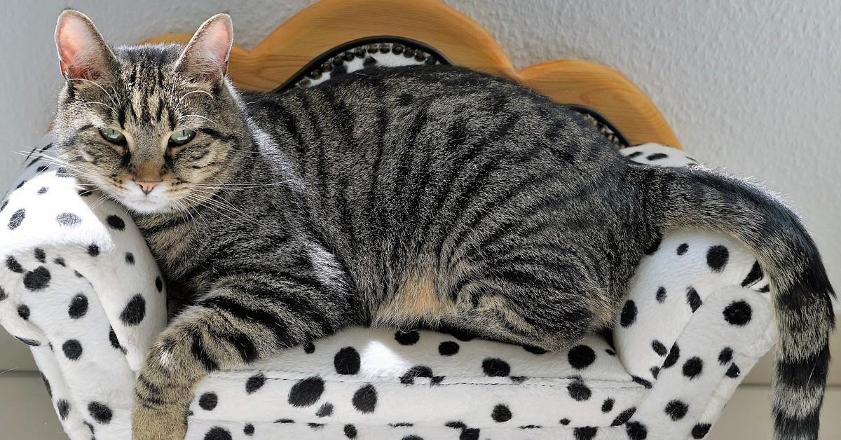 gato aervio